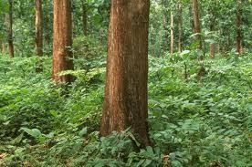 Jual Kebun Mahoni di Sukabumi Berikut Pohon usia 30 tahun