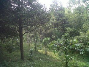 Tanah dijual Puncak 2 Kebun Pala Taman Bunga Nusantara
